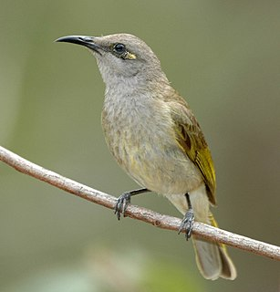 Brown honeyeater species of bird