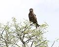 Brown Snake-eagle 2246403341.jpg