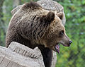 Brown bear at Skansen3 (14995404367).jpg
