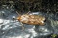 Brown house-moth (BG) (32195597083).jpg