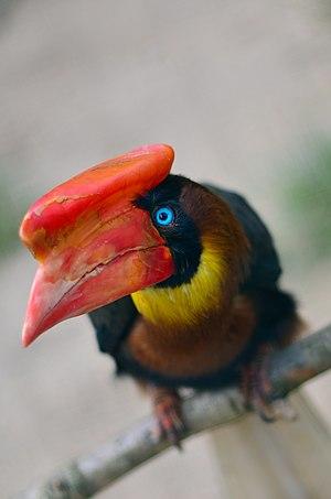 Rufous Hornbill at Weltvogelpark Walsrode.
