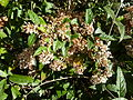 Buddleja auriculata, c, Jan Celliers Park.jpg