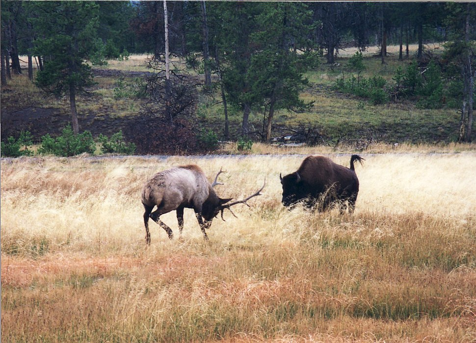 Buffalo charges Elk near old faithful - panoramio