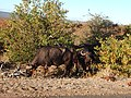 Buffalos eating a bush 2.jpg