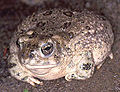 Bufo californicus01.jpg