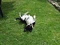 Bullterrier-Mischling.JPG