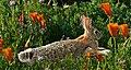 Bunny Spring (34043492762).jpg