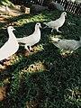 Burung Merpati Putih di Rumput yang Menghijau.jpg