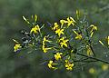 Bush jasmine - Jasminum fruticans 02.jpg