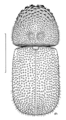 COLE Bostrichidae Dinoderus minutus.png