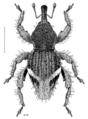 COLE Curculionidae Agacalles formosus.png
