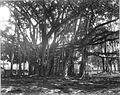 COLLECTIE TROPENMUSEUM Een waringin boom in 's Lands Plantentuin te Buitenzorg TMnr 60009688.jpg