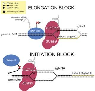 CRISPR interference