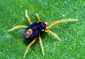 CSIRO ScienceImage 20 Penthaleus major The Blue Oat Mite.jpg