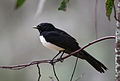 CSIRO ScienceImage 3529 Williewagtail.jpg