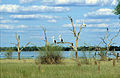 CSIRO ScienceImage 4378 Pelicans black swans cormorants and other water birds.jpg