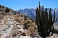 Caňon del Colca - kaktusy - panoramio (2).jpg
