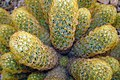 Cactaceae in iran- mahallat city کاکتوس های گلخانه های محلات- ایران 32.jpg