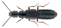 Cafius xantholoma (Gravenhorst, 1806).png
