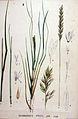 Calamagrostis stricta — Flora Batava — Volume v19.jpg