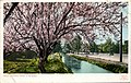 California - Almond Trees in Blossom (NBY 431656).jpg