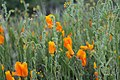 California Poppies B (237761435).jpeg