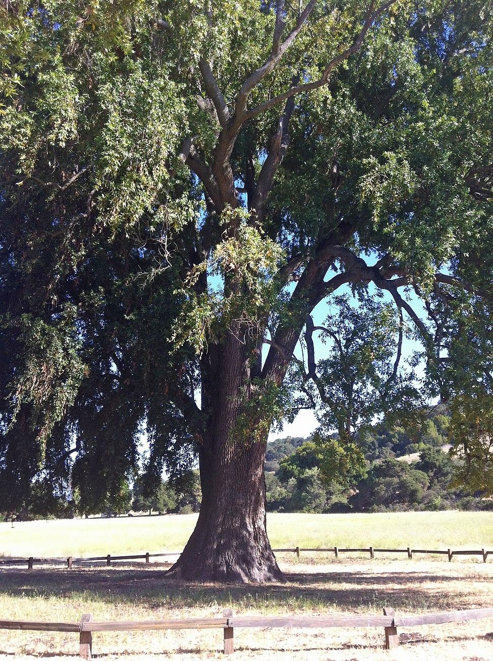 California bay laurel 2012-06-16