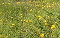 California poppies in Griffith Park March 2017.jpg