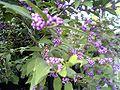 Callicarpa japonica berry.jpg