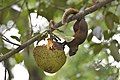 Callosciurus erythraeus thaiwanensis (34345577443).jpg