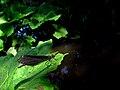 Calopteryx IMG 6413^.jpg