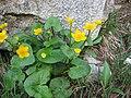 Caltha palustris (1).jpg