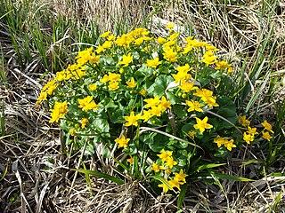 Záružlie močiarne (Caltha palustris)