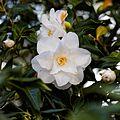 Camellia japonica 'Lady Vansittart' flower at RHS Garden Hyde Hall, Essex, England 02.jpg