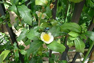 Tea - Tea plant