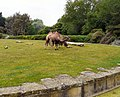 Camels at Blackpool Zoo (geograph 4023764).jpg