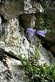 Campanula cochleariifolia, Zwerg-Glockenblume 2.JPG