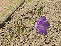 Campanula patula1.jpg