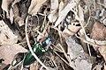 Campsosternus mirabilis (35634465306).jpg