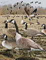 Canada goose From The Crossley ID Guide Eastern Birds.jpg