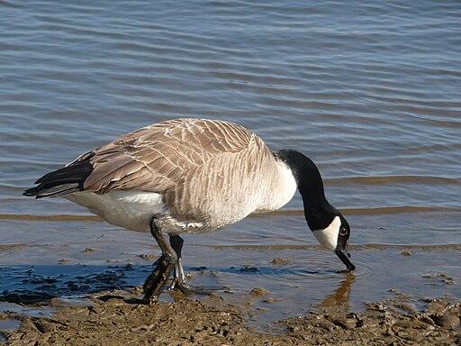 Canadian Goose in Elton Reservoir