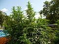 Cannabis sativa plant (15).jpg