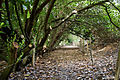 Canopied lane of laurels, Nuthurst, West Sussex, England 1.jpg