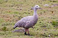 Cape Barren Goose (Cereopsis novaehollandiae) (8079572933).jpg