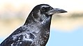Cape crow, Corvus capensis, at Kgalagadi Transfrontier Park, Northern Cape, South Africa (35947035081).jpg