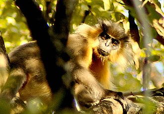Manas National Park - A capped langur in Manas