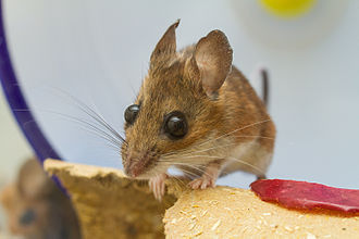 White-footed mouse - A captive White-Footed Mouse. She is at least 3 years and 8 months old.