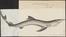 Carcharias glaucus - 1700-1880 - Print - Iconographia Zoologica - Special Collections University of Amsterdam - UBA01 IZ14100021.tif