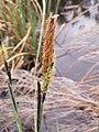 Carex acutiformis inflorescens (11).jpg