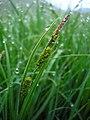 Carex elata inflorescens (09).jpg
